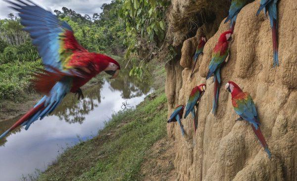 خاک خوراکی پرنده طوطی