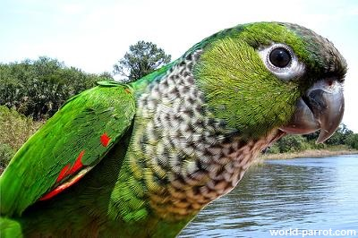 Black-capped Conure کانور سر سیاه