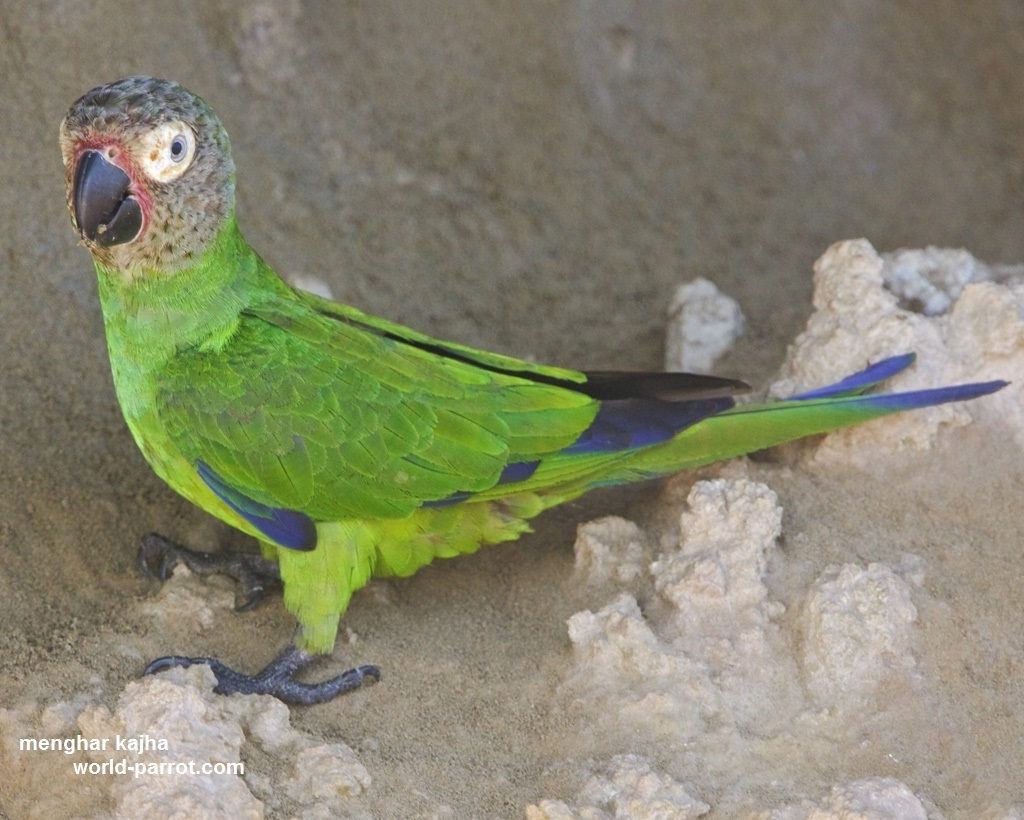 کانور سر تیره Dusky-headed Parakeet