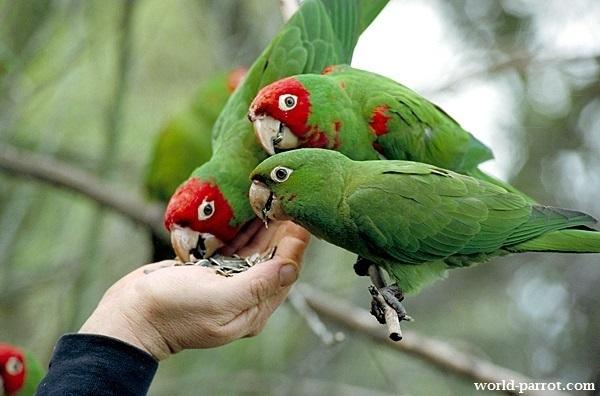 کانور سر گیلاسی Red-masked Parakeet