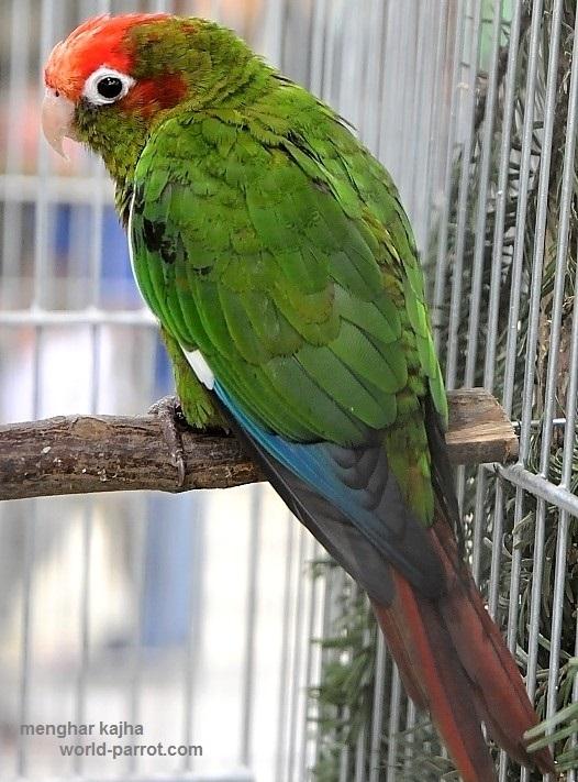 کانور سر گلسرخی Rose-headed Parakeet