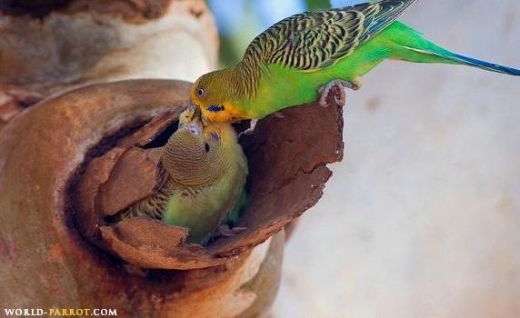 مرغ عشق - باجریگار