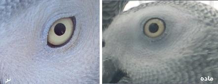 جنسیت طوطی خاکستری آفریقایی تیمنه کنگو دم قرمز دم سیاه