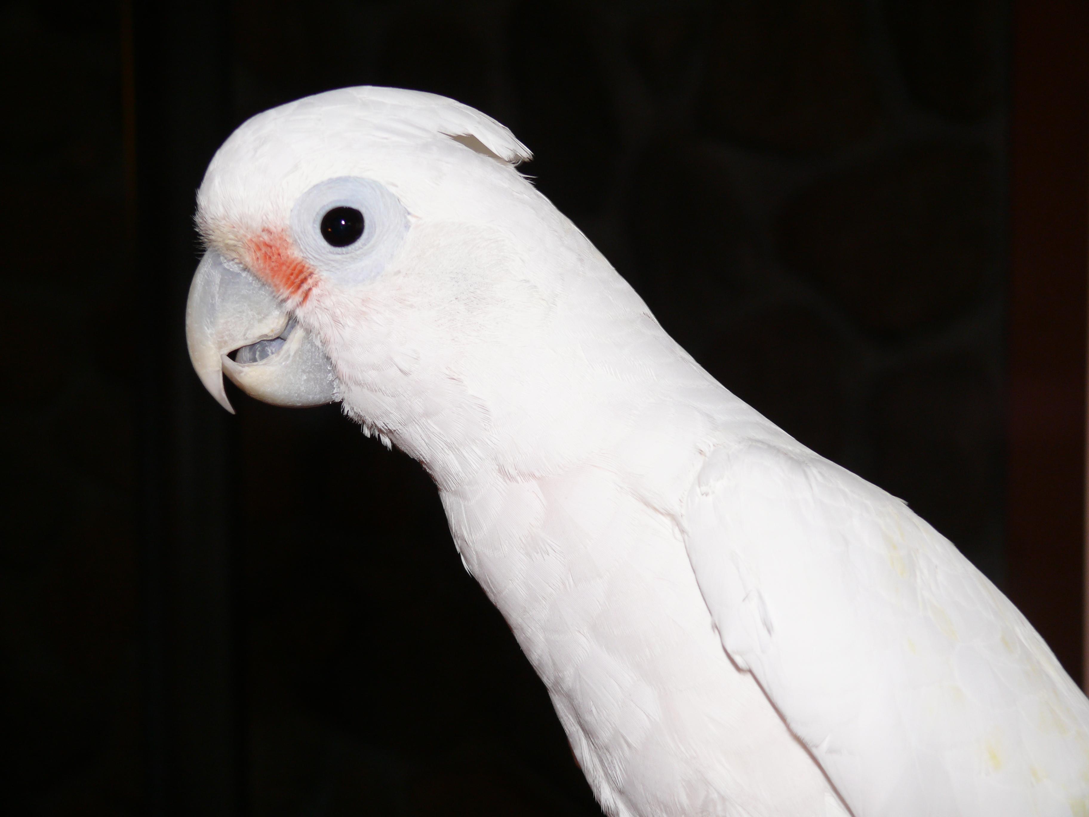 سن و جنسیت طوطی کاکادو