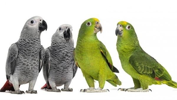 مسابقات پرندگان سخنگو