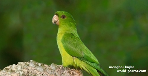 آراتینگای سبز یا کانور سبز Green Parakeet