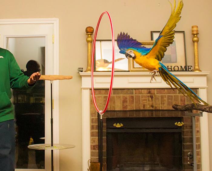 پرواز آزاد طوطی در خانه
