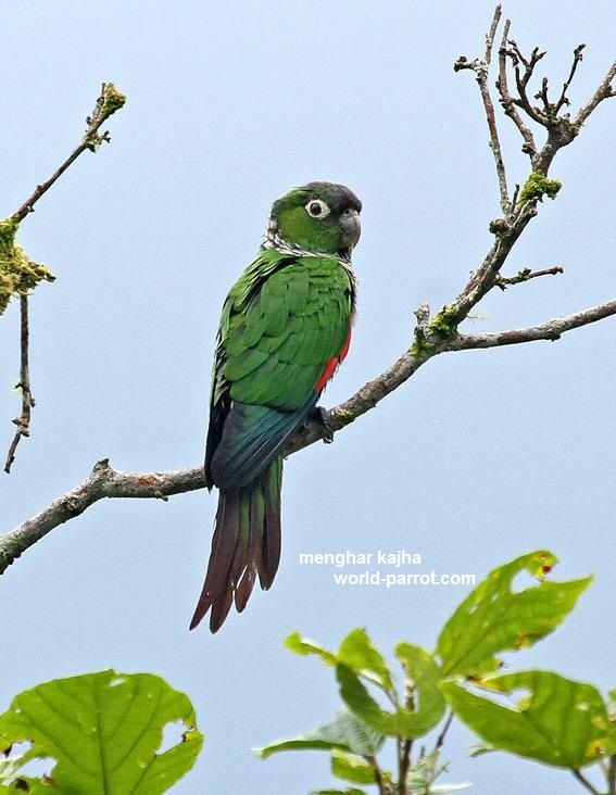 کانور دم زرشکی Maroon-tailed Parakeet
