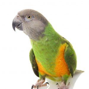 طوطی سنگالی