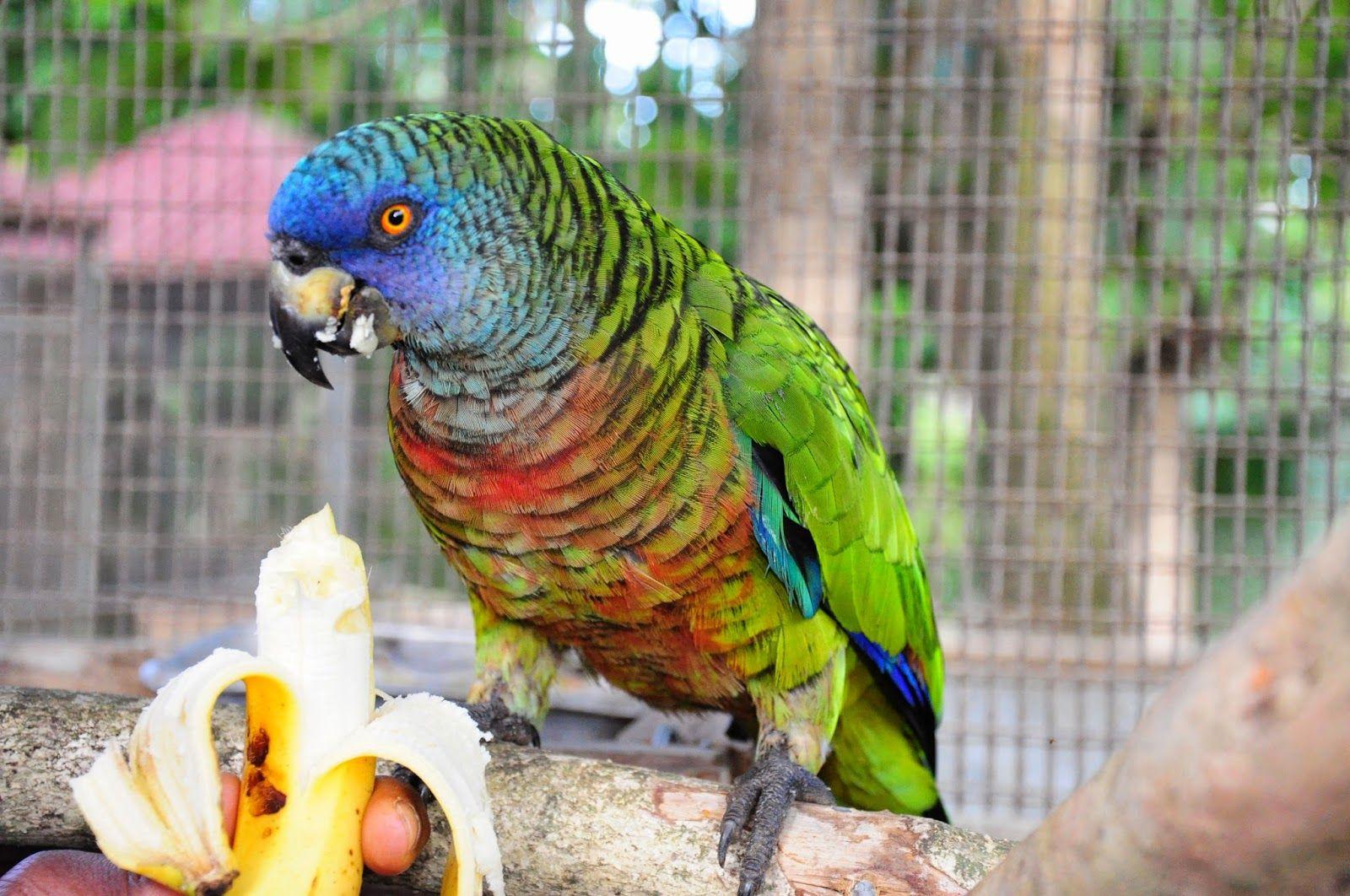 طوطی آمازون سنت لوسیا