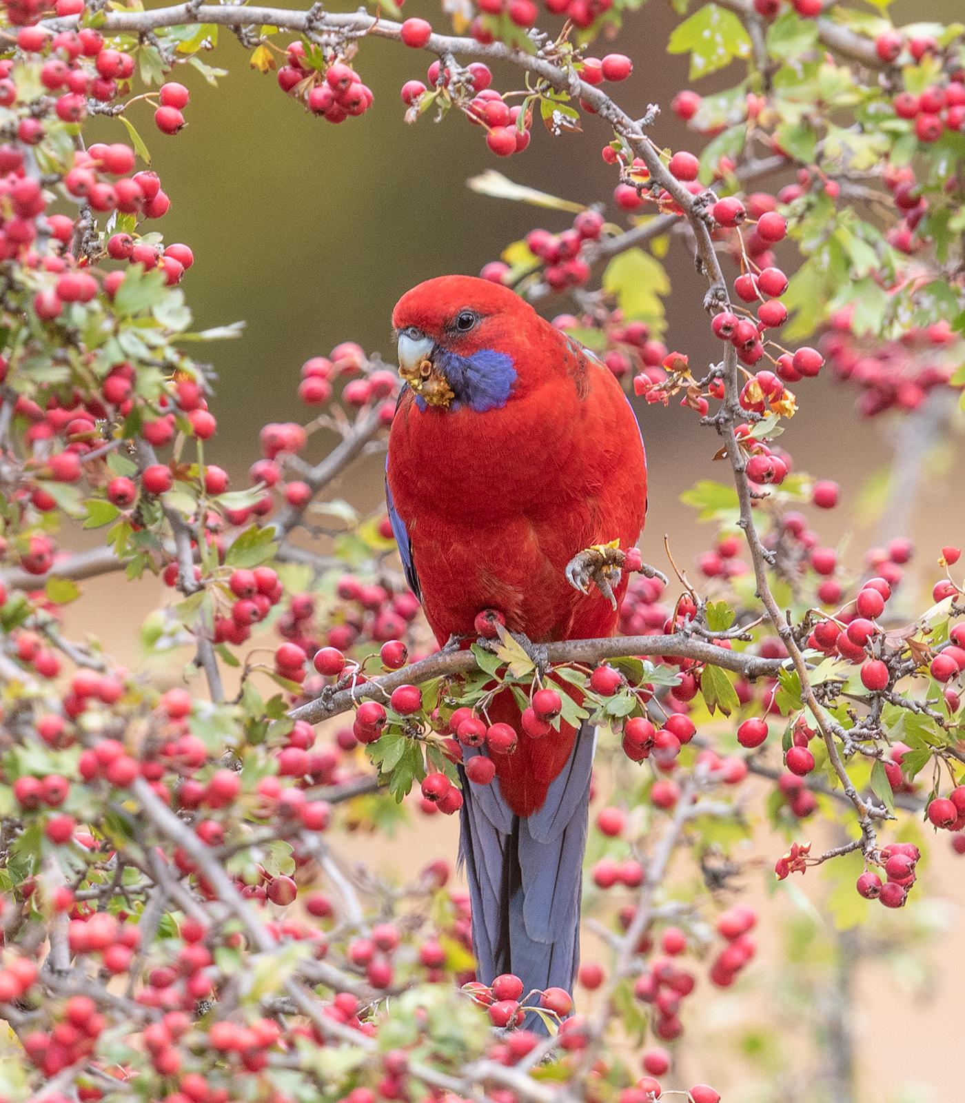 Hawthorn parrot
