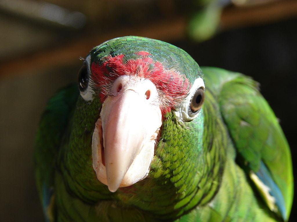 Puerto Rican Amazon