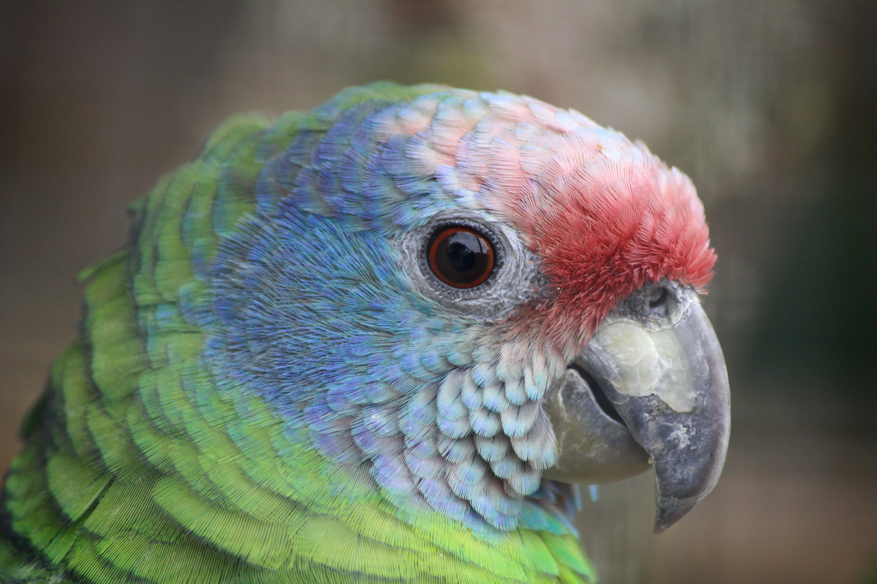 Red-tailed Parrot آمازون دم قرمز