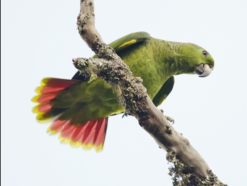 Scaly-naped Amazon