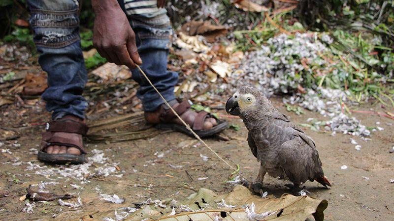 تجارت و قاچاق طوطی خاکستری کاسکو