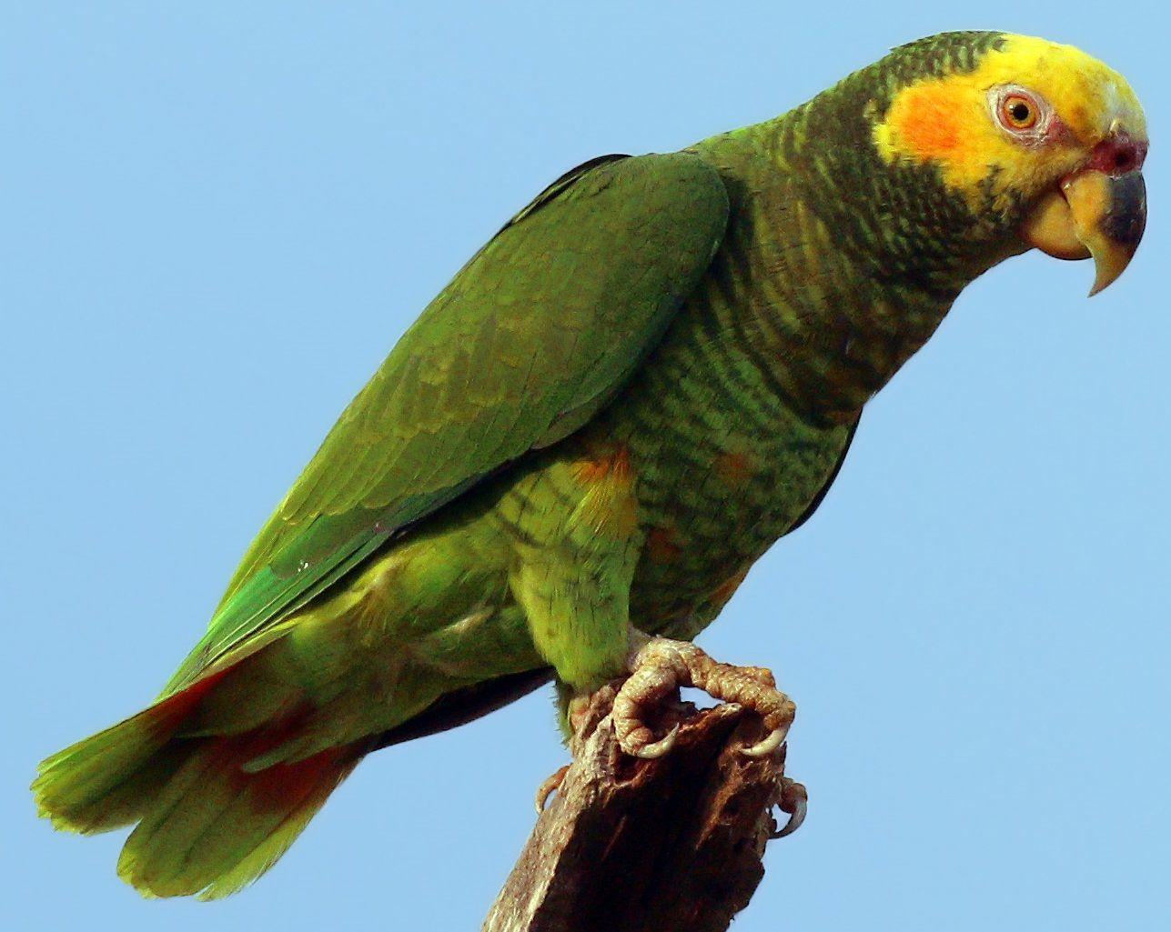 طوطی امازون صورت زرد Yellow-faced Parrot