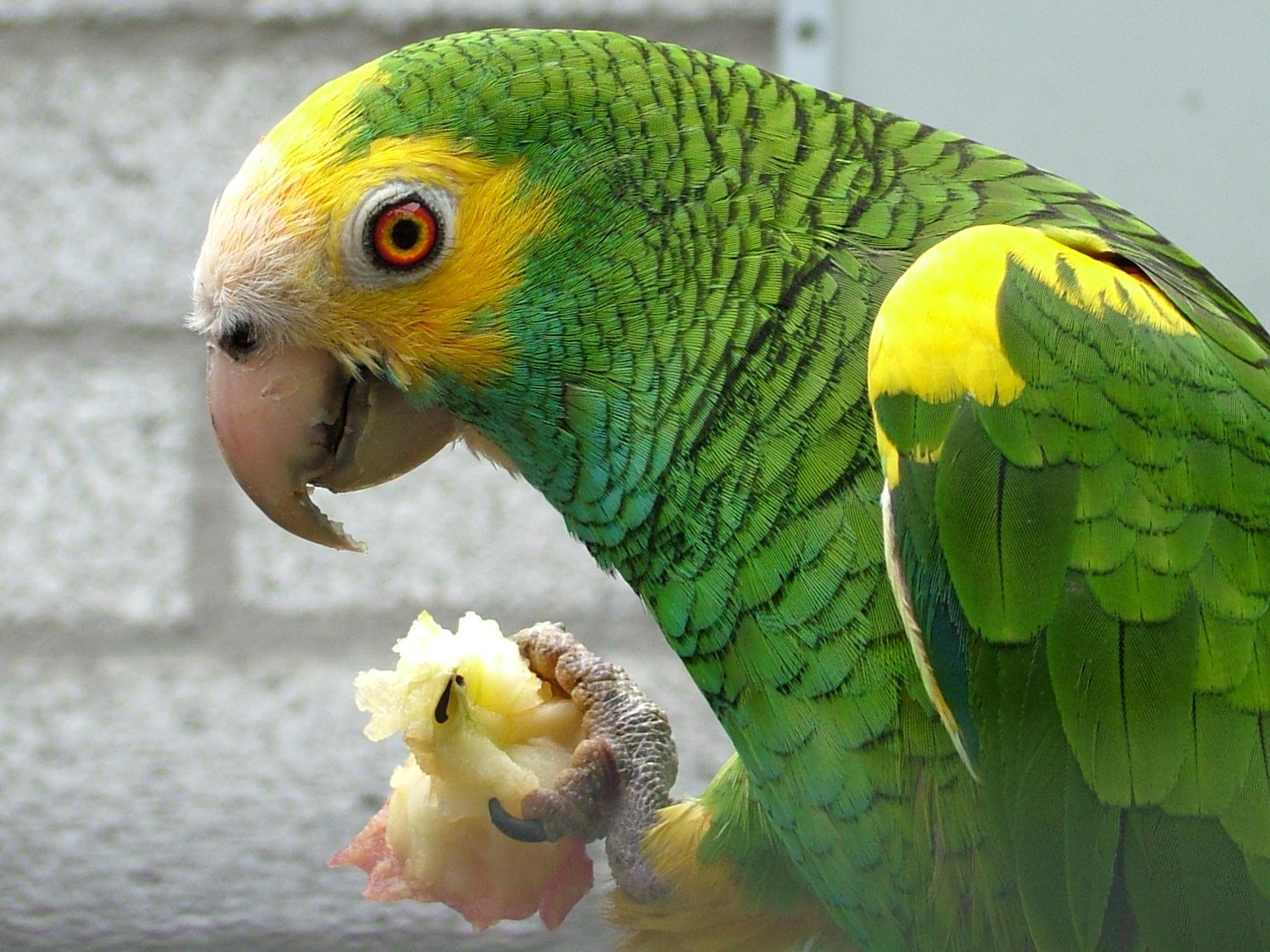 طوطی آمازون شانه زرد Yellow-shouldered Amazon