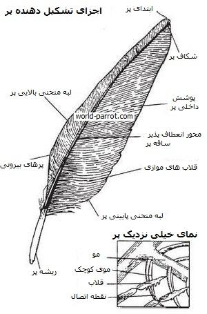 اجزای تشکیل دهنده پر و بال طوطی