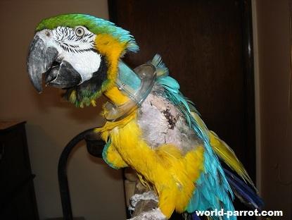 طوطی ماکئوی شکنجه شده