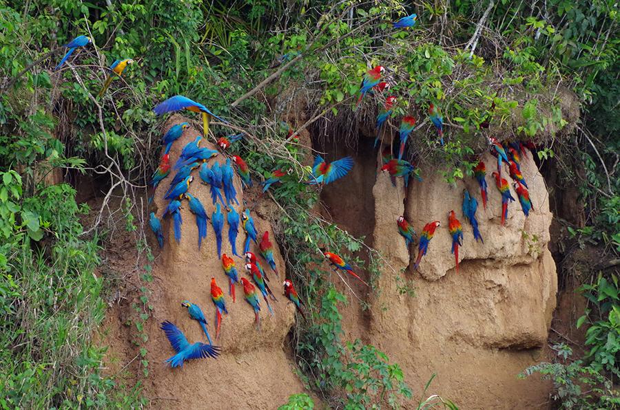 سنگدان طوطی علت خاک خوردن طوطی