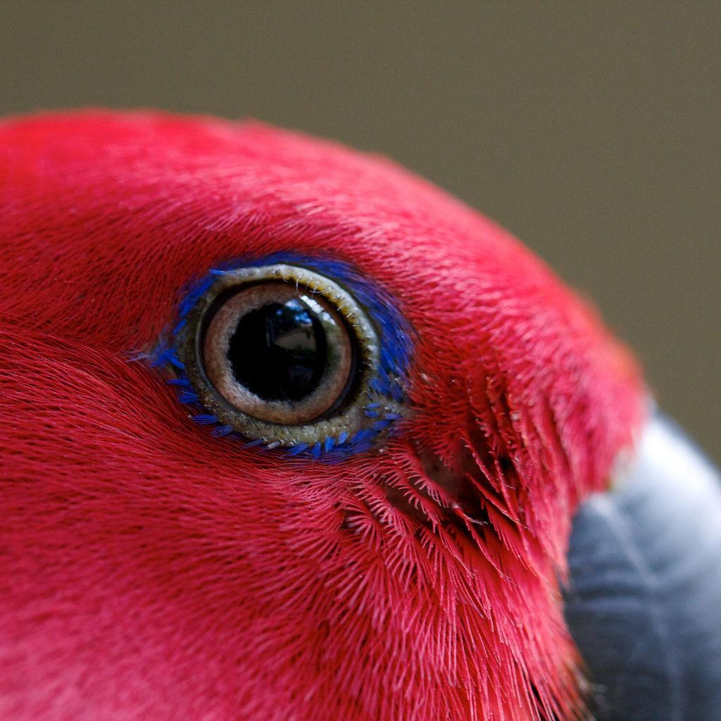 چشم طوطی