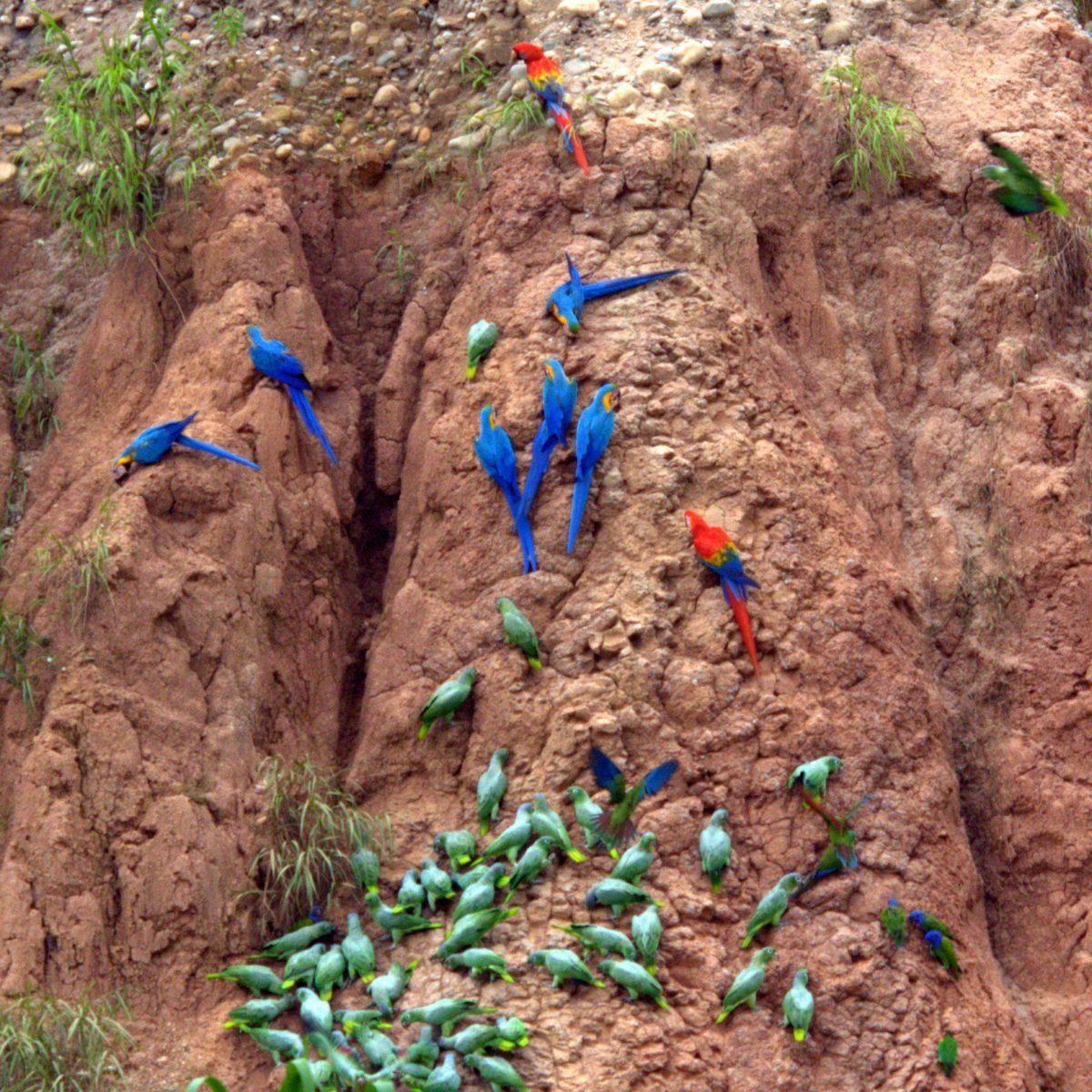خاک خوراکی طوطی سخره رودخانه گل خوراکی سنگ
