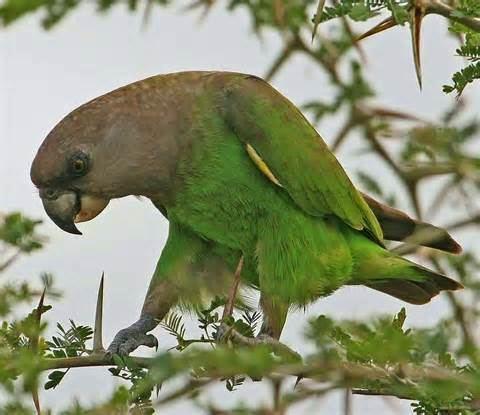 African Niam-Niam Parrot