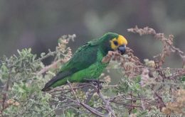 African Yellow-Fronted