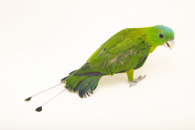 Blue-crowned Racquet-tail