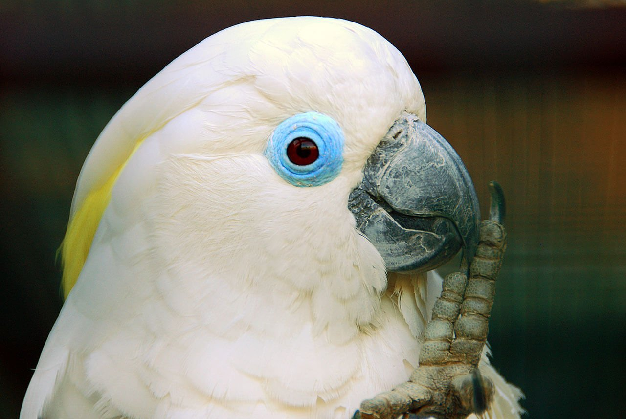 کاکادو چشم آبی Blue-eyed Cockatoo