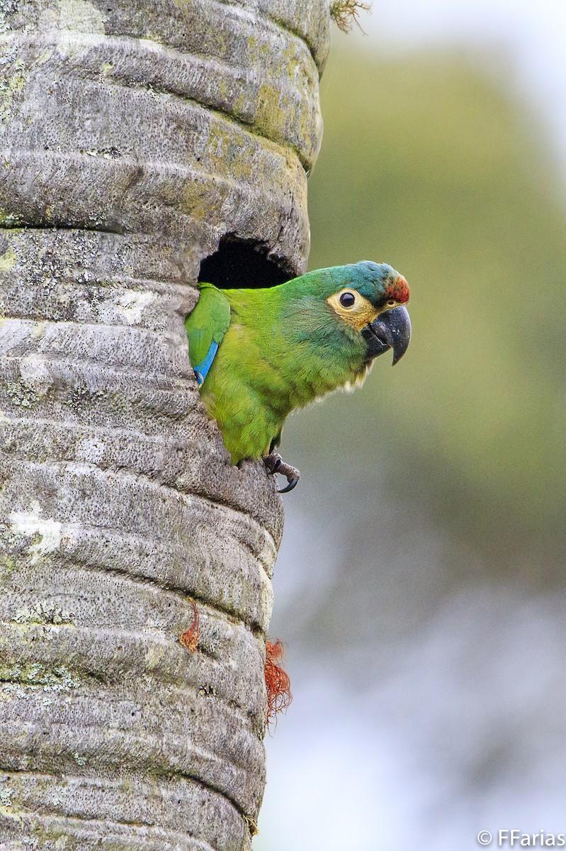 Blue-winged Macaw ماکائوی بال ابی