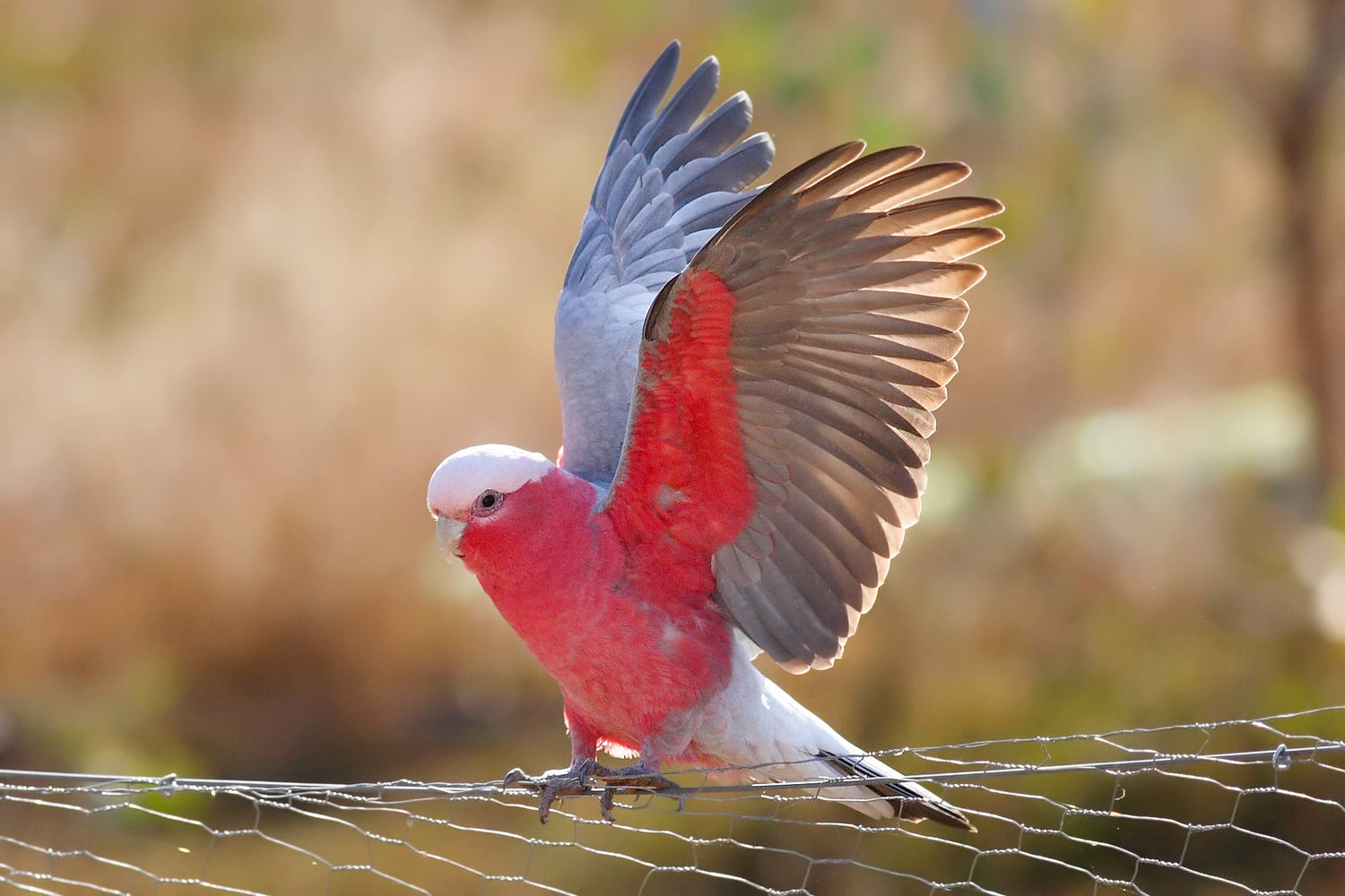 Galah-Cockatoo کاکاتو گالا