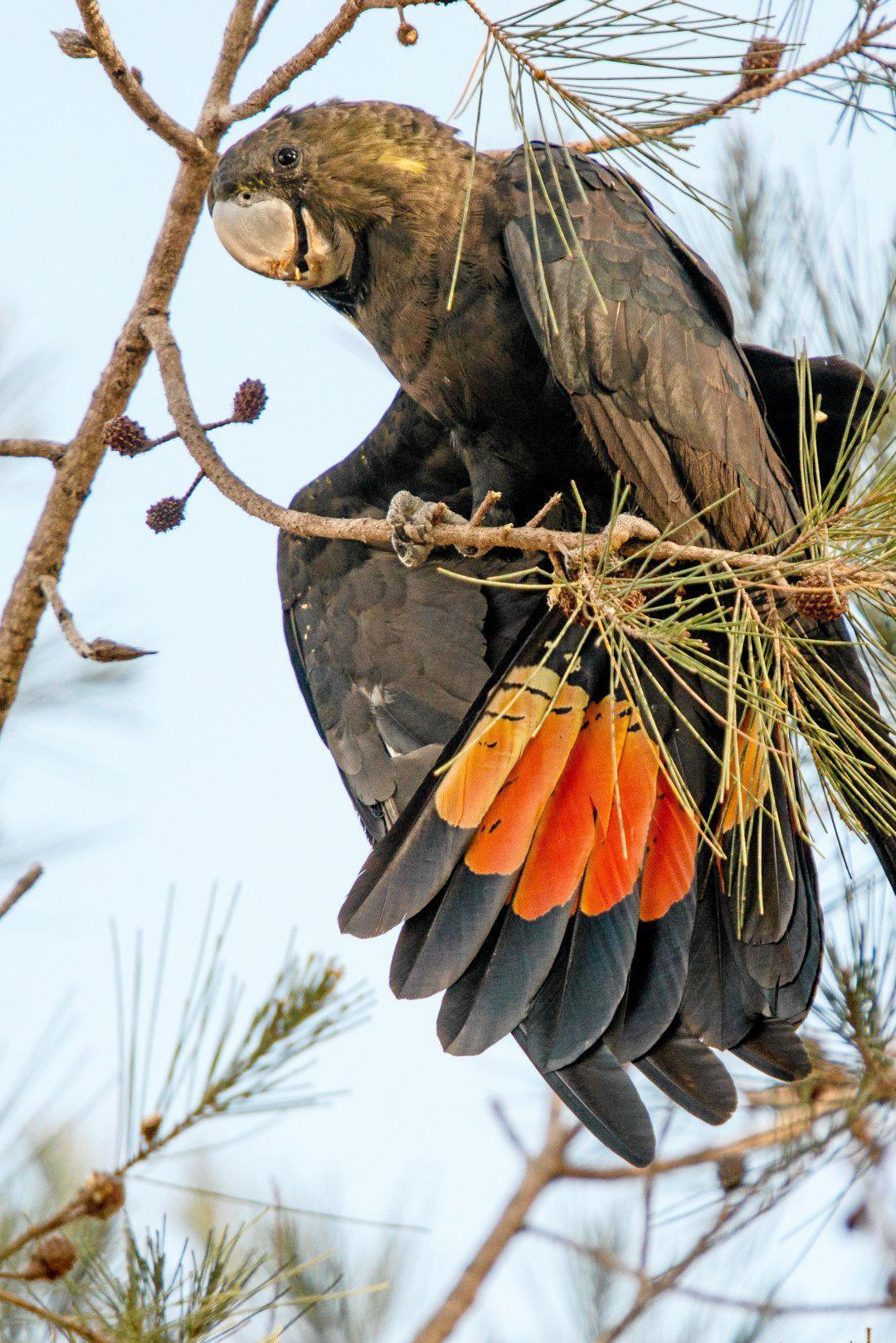 کاکاتوی سیاه براق Glossy Black Cockatoo