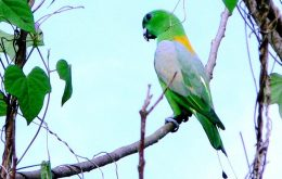Golden-mantled Racquet-tail