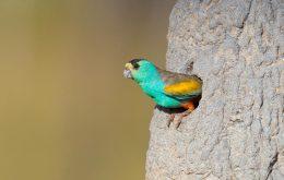 Golden-shouldered Parrot
