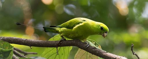 Green Racquet-tail