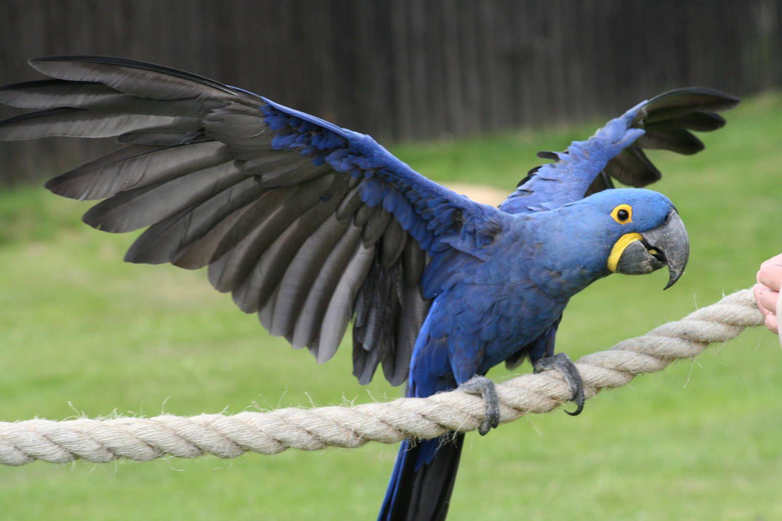 هایسنث ماکائو Hyacinth macaw