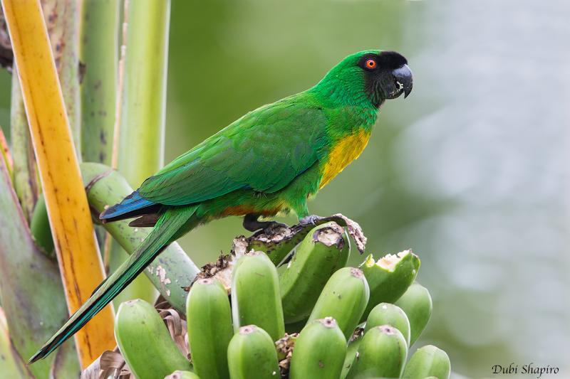 Masked Shining Parrot