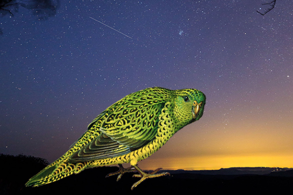 Night Parrot