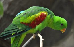 Olive-shouldered Parrot