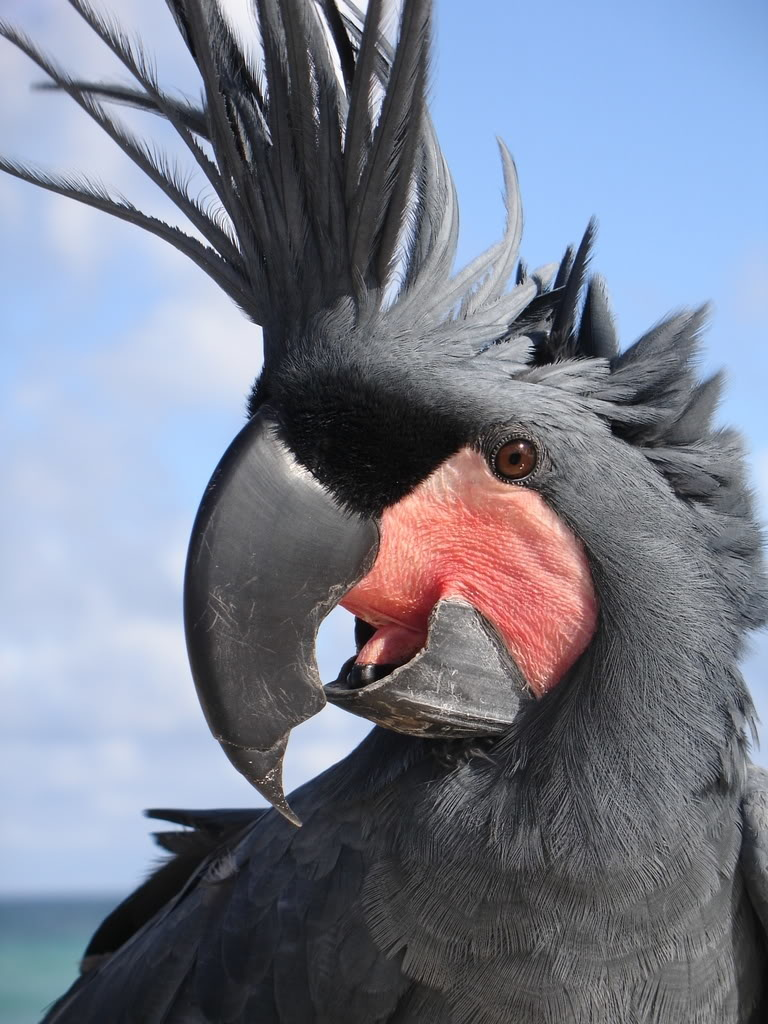 Palm Cockatoo پالم کاکادو کاکل نخلی