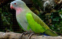 Princess Parrot