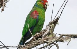 Red-faced Parrot