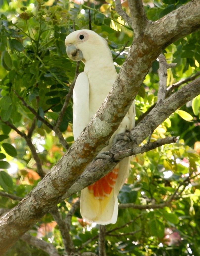 Red-vented Cockatoo کاکاتو فیلیپینی