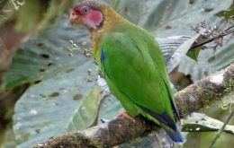 Rose-faced Parrot طوطی پاینس صورت گلسرخی
