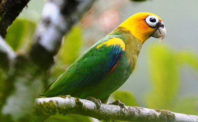 Saffron-headed Parrot