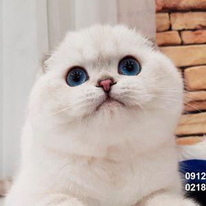 خرید فروش بچه گربه اسکاتیش فولد سیلور چشم آبی