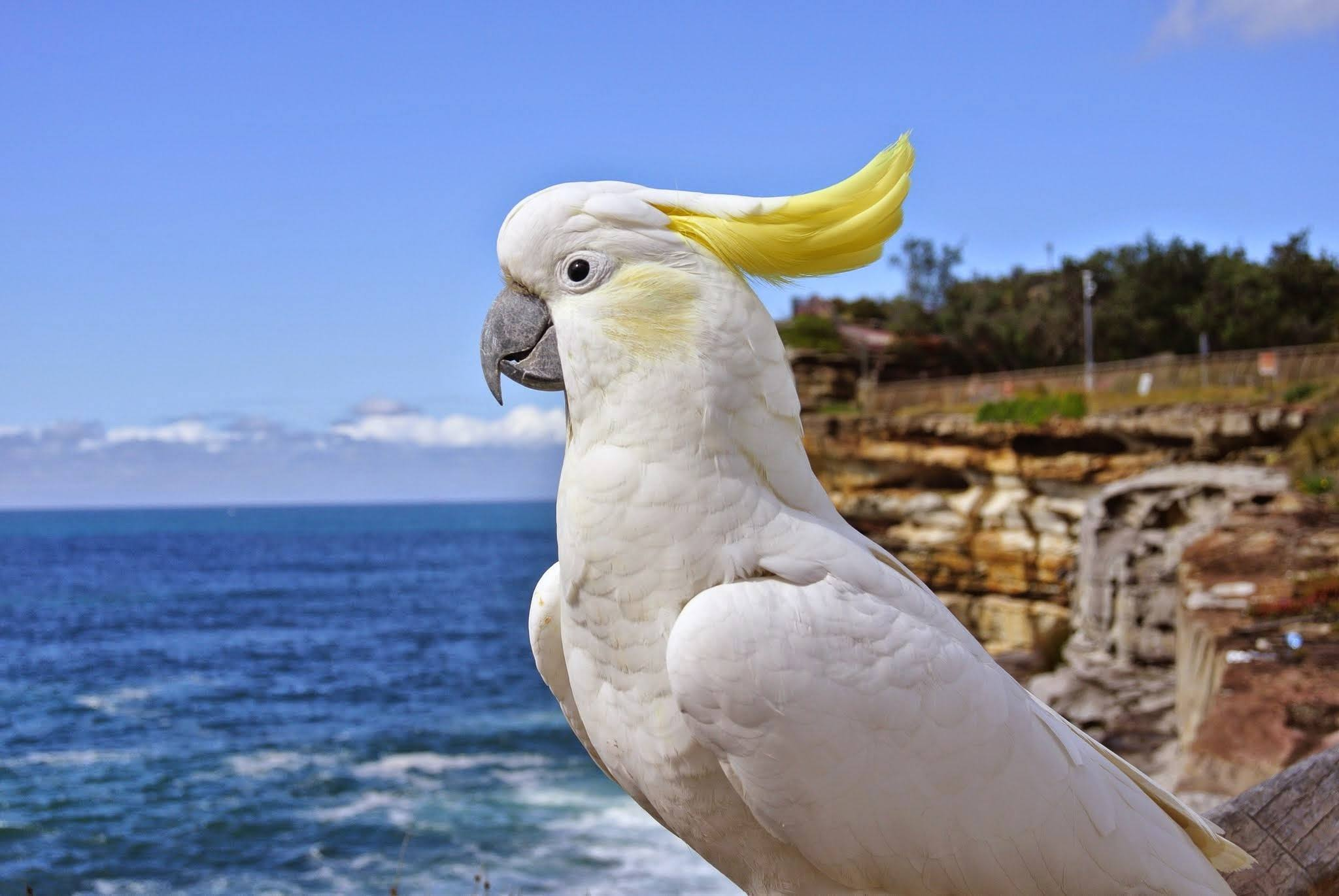 Yellow-crested Cockatoo کاکادو کاکل زرد تاج زرد