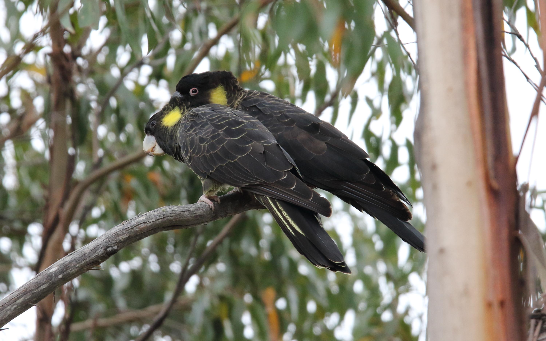 کاکادوی سیاه دم زرد Yellow-tailed Black Cockatoo