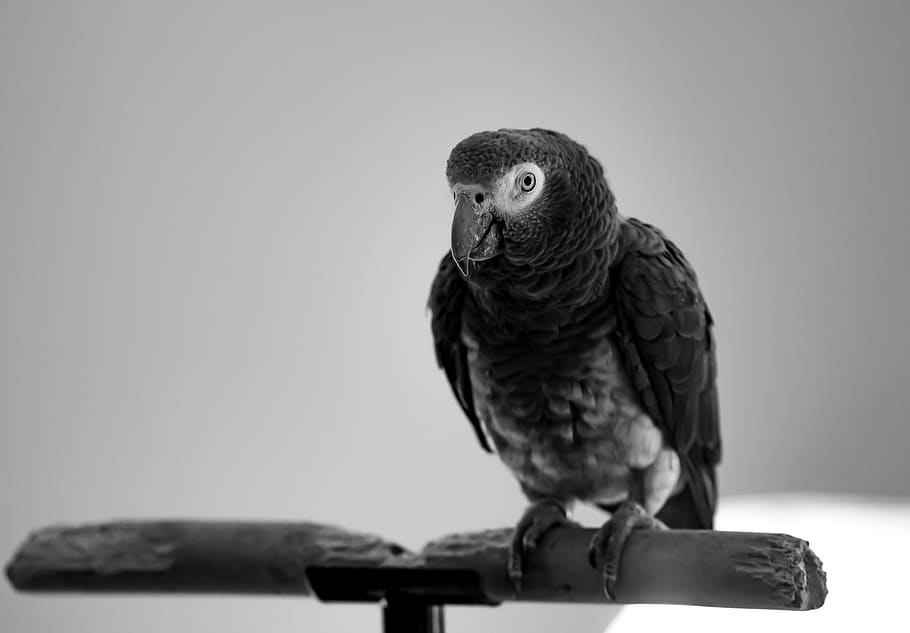 African Grey Parrot Red Tail